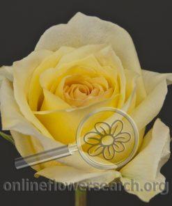 Rose Judy
