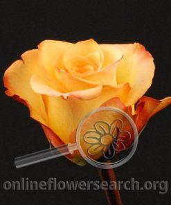 Rose Latin Beauty