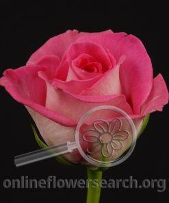 Rose Latin Breeze