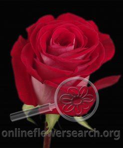 Rose Latin Lady