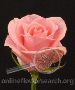 Rose Light Orlando
