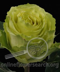 Rose Limbo