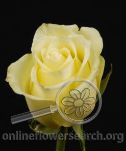 Rose Limona