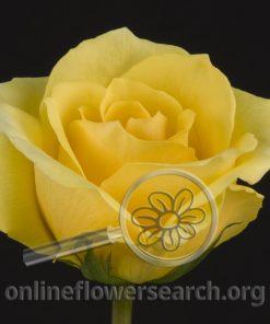 Rose Lindsey