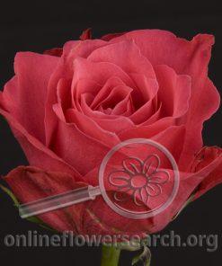 Rose Memphis