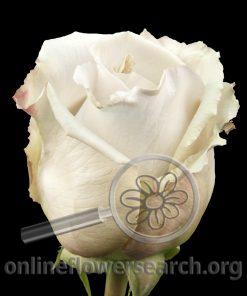 Rose Metallina (Metalline)