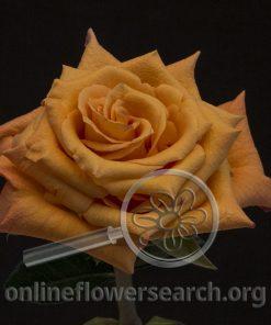 Rose Milva