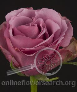 Rose Mystery