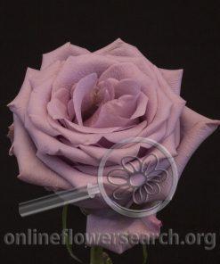 Rose Ocean Song (aka Boyfriend)