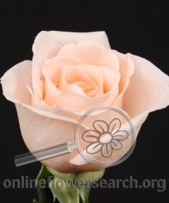 Rose Osiana
