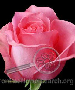 Rose Pavarotti