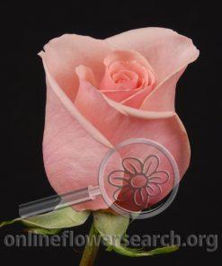 Rose Pink Osiana