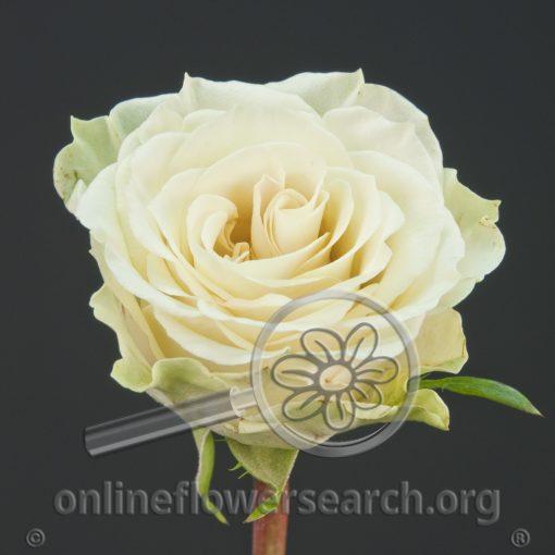 Rose Cream Prophyta
