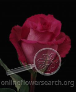Rose Purple Cezanne