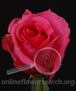 Rose Ravel