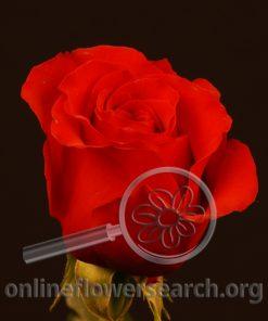Rose Red France