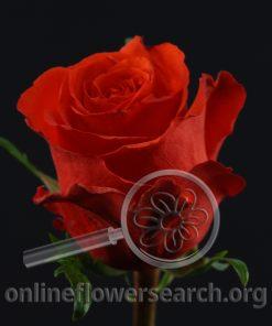 Rose Red Unique