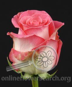 Rose Rossini