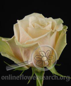 Rose Sahara