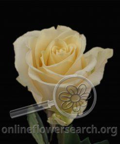 Rose Sandy Femma