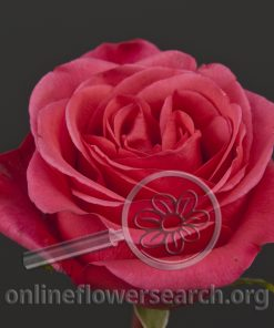 Rose Solitaire (aka Hot Party)