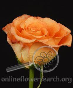 Rose Sunny Leonidas
