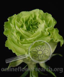 Rose Super Green