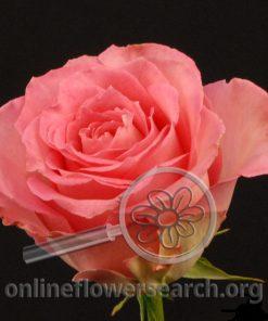Rose Sweet Unique