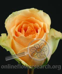Rose Versilia