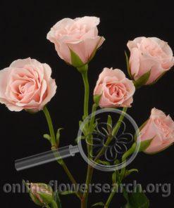 Spray Rose Majolica