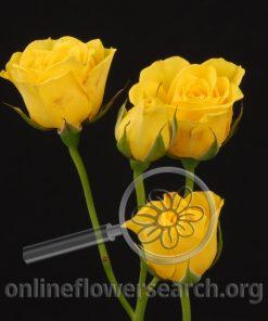 Spray Rose Suncity