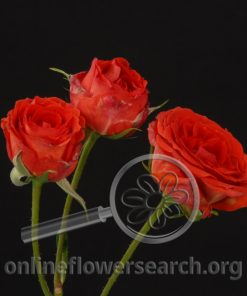 Spray Rose Seline