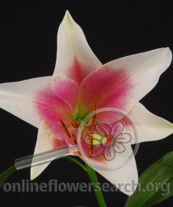 Lily Sonata Triumphator