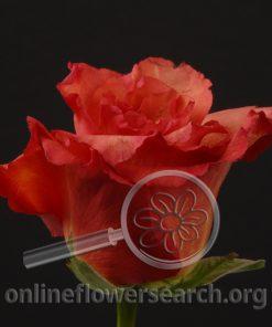 Rose Dark Milva