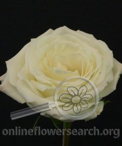 Rose Snowy Jewel