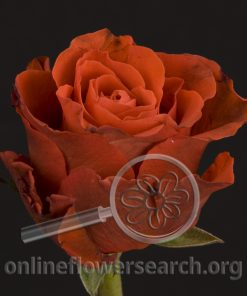 Rose El Toro