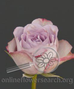 Sweetheart Rose Lavender