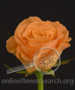 Sweetheart Rose Orange