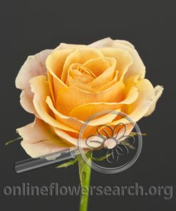 Sweetheart Rose Peach