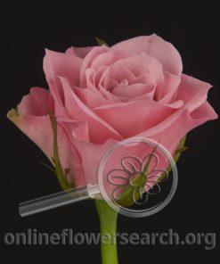 Sweetheart Rose Hot Pink