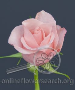 Sweetheart Rose Light Pink