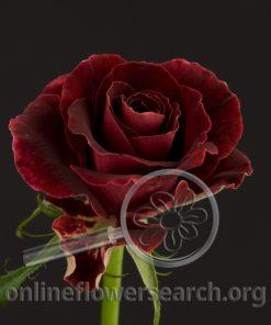 Sweetheart Rose Burgundy