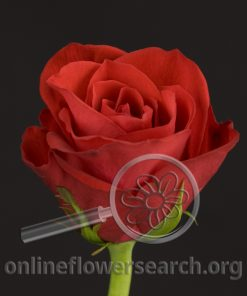 Sweetheart Rose Red