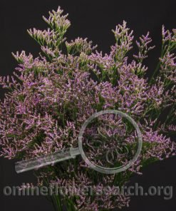 Limonium Safora