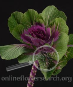 Kale/Cabbage Ornamental Purple