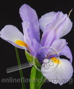 Iris Hildegard