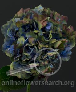 Hydrangea Antique Blue/Green