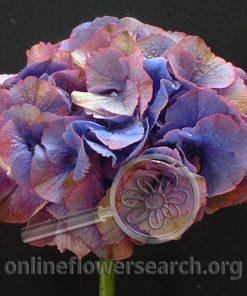 Hydrangea Antique Purple