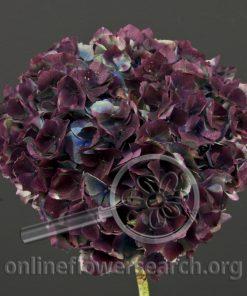 Hydrangea Aubergine