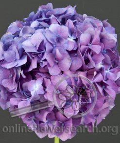 Hydrangea Lavender